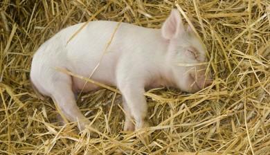 Strawbase voor varkens, een product van Sambed