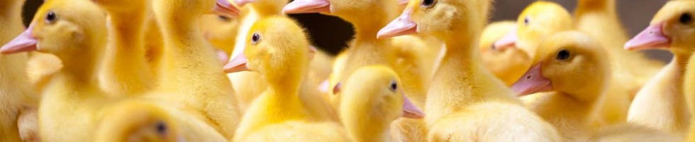 Strawbase voor pluimvee, een product van Sambed