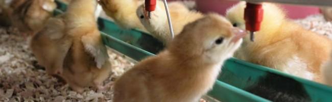 Strawbase voor pluimvee is een product van Sambed